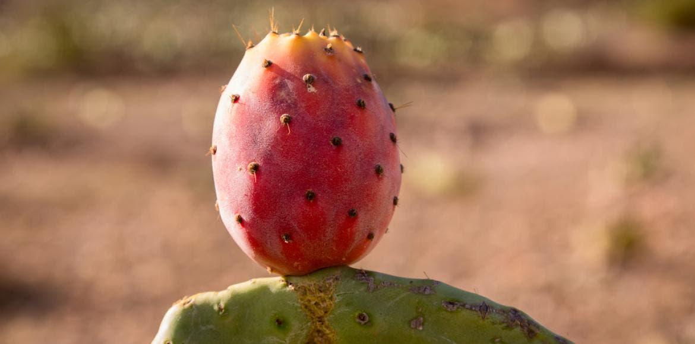 Comment manger une figue de barbarie latest comment manger cactus figures figues cactus with - Comment manger une figue de barbarie ...