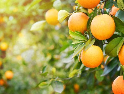 4711013ed3a02c Variétés d'oranges - Types, sortes, espèces & nutrition | LaNutrition.fr